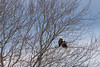 Bald Eagles, Sheffield Mills