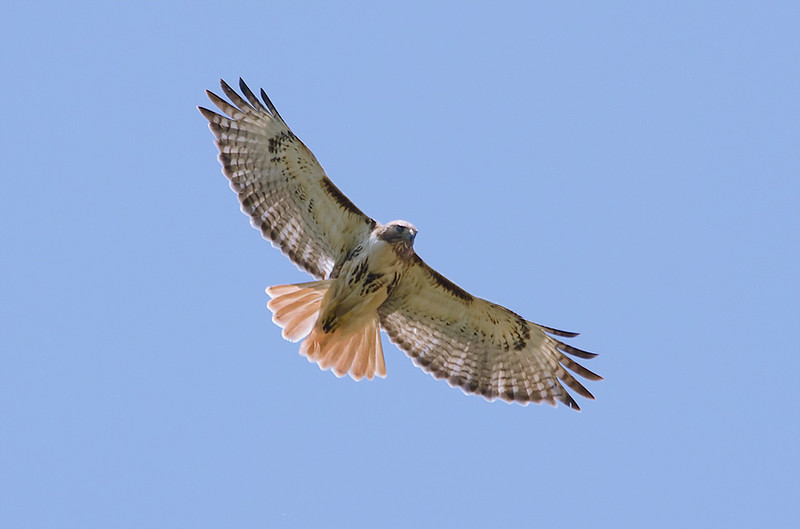 Red-tail DSC_2385