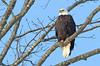 Sleepy Bald Eagle