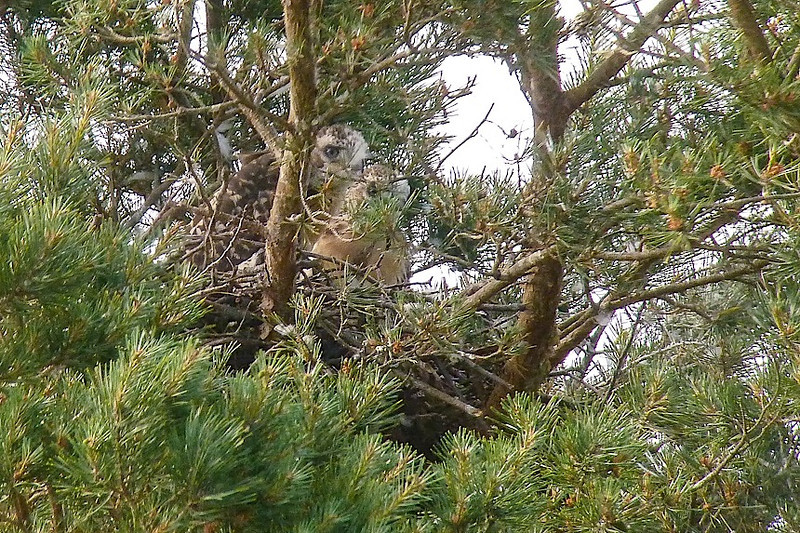 Red-tail nest