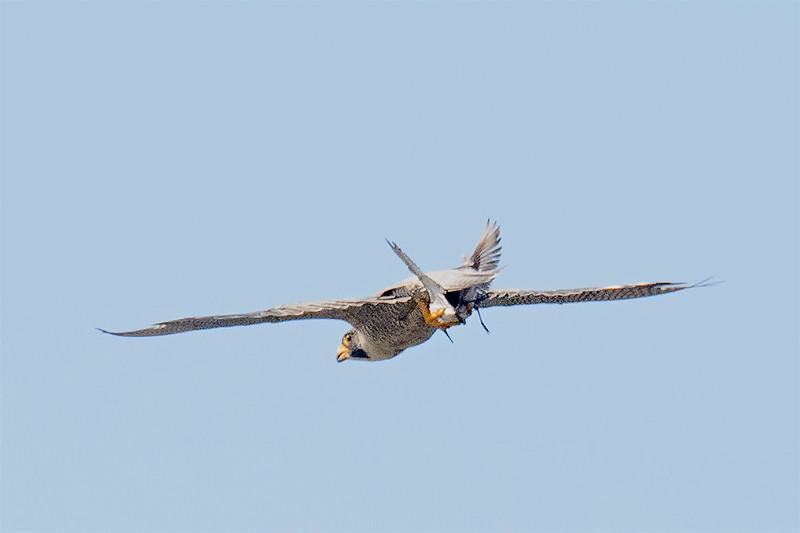PEFA with shorebird-5198-