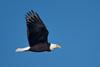 Bald eagle, Canard