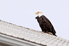 Eagle on barn roof