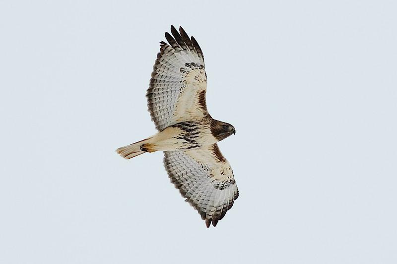 Red-tail flight