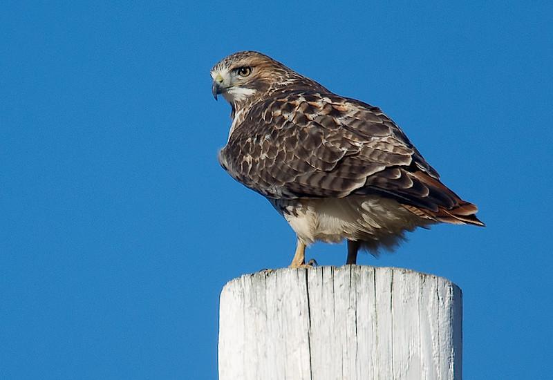 Red-tailed hawk, Grand Pre