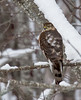 Sharp-shinned hawk, Card Beach Rd.