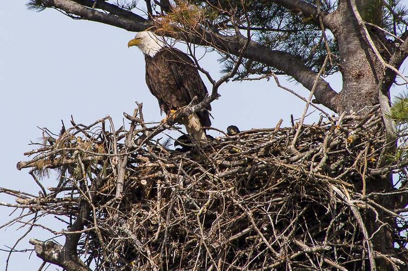BAEA nest-6090823