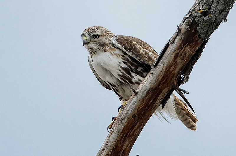Red-tail on tree