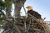 BAEA nest-1090057