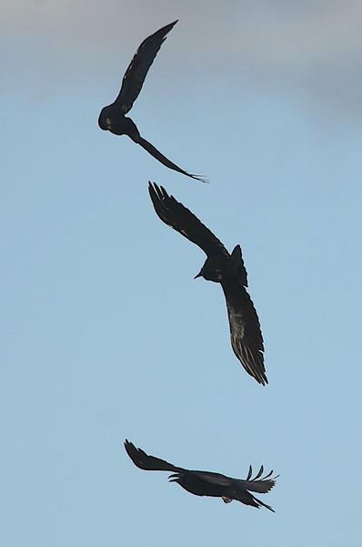 A trio of Ravens