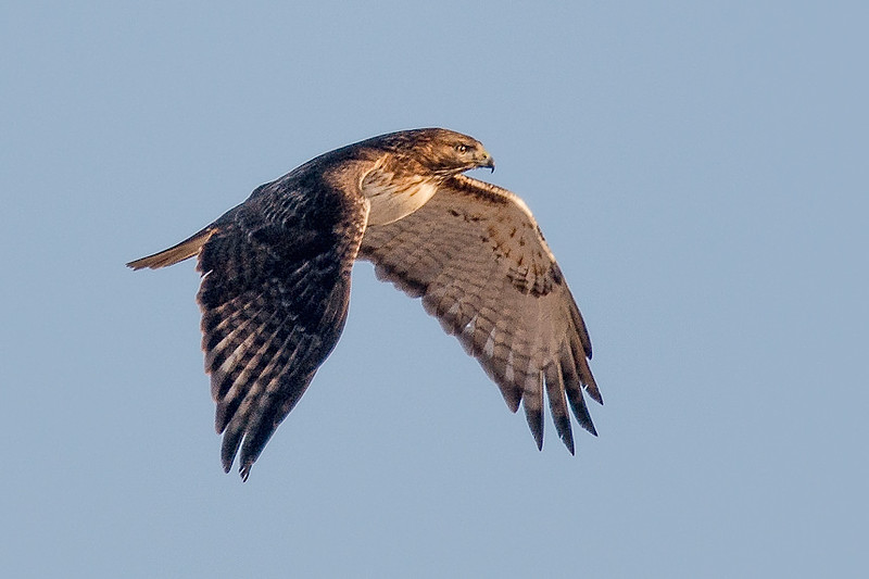 Red-tail, Canard