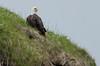 Eagle at Bay St.Lawrence