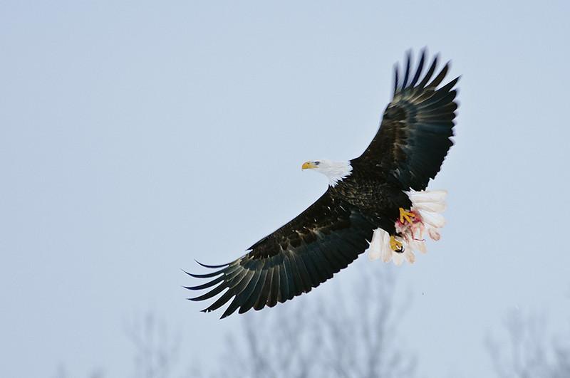 Eagle with prey