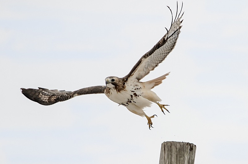 Red-tail take off