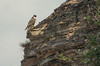 Peregrine on cliff
