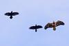 Ravens and Eagle-3018