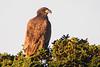 Juv. Bald Eagle 2