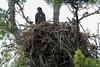 BAEA nest-0256