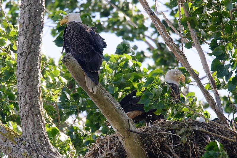 Bald eagle nest-4473