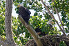 Bald eagle nest-4473