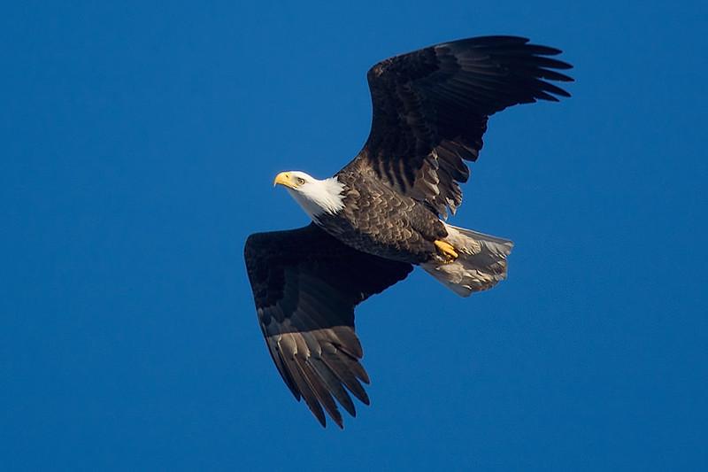 Bald eagle, Wolfville