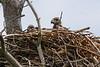 BAEA nestlings-3596