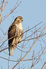 Red-tail, Upper Dyke