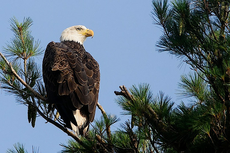 Bald eagle, Church St.