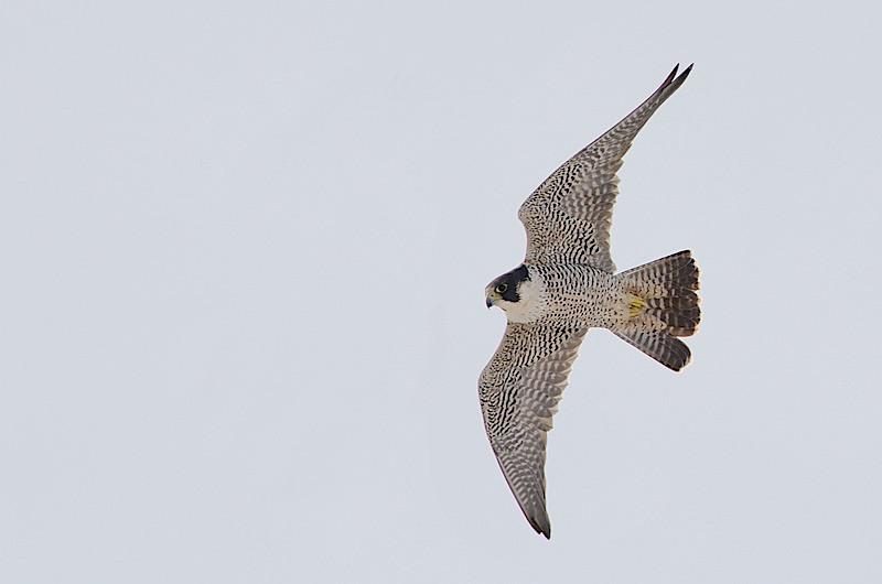 Peregrine chasing Starlings