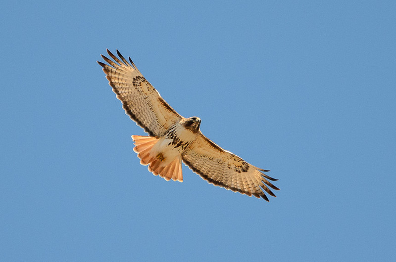 Soaring Red-tail