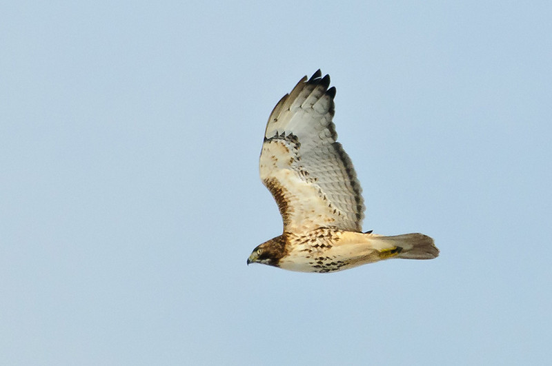 Red-tail fly by