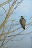 Peregrine on Wolfville CBC