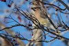 Cedar waxwing, Pt.Williams