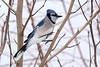 Blue jay, home