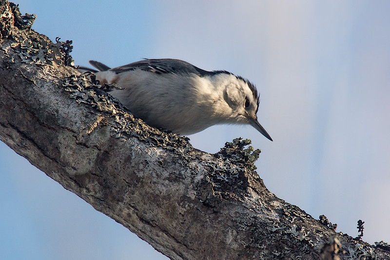White-br, nuthatch, Wolfville