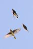 Cedar waxwings-3238