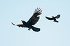 Red-wing and Raven-4172