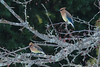 Cedar waxwings, home
