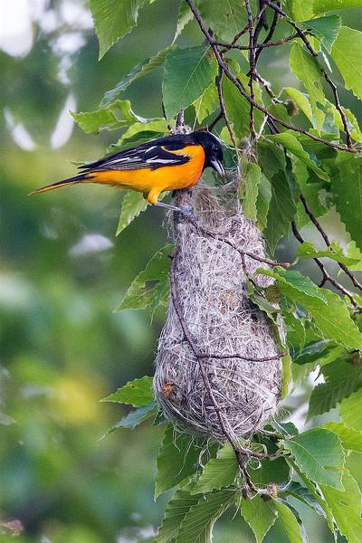 BAOR nest-4275