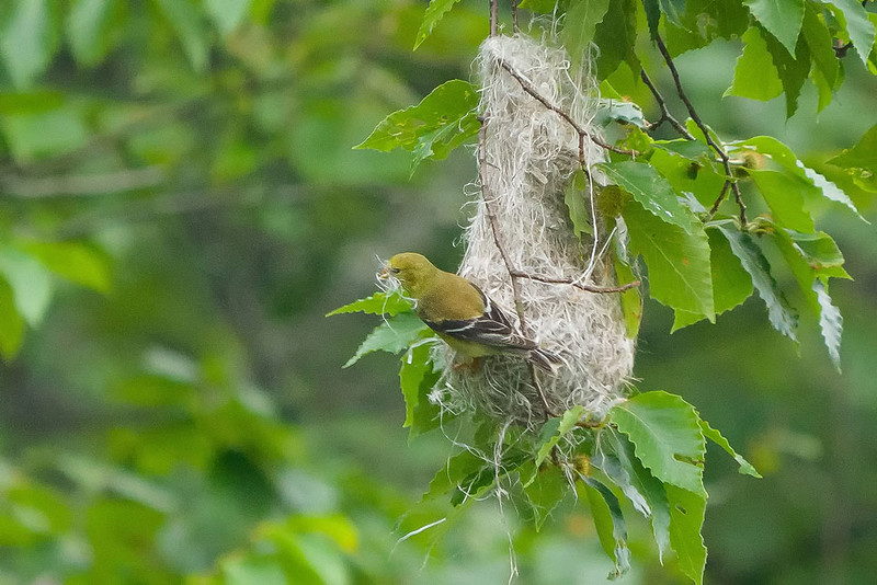 AMGO using Oriole's nesting material-1100954
