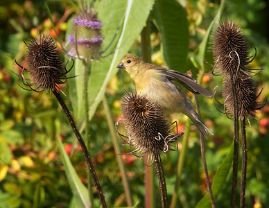American Goldfinch, female