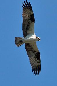 Osprey overhead