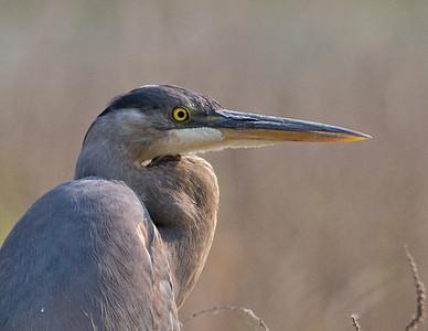 Great Blue Heron, portrait