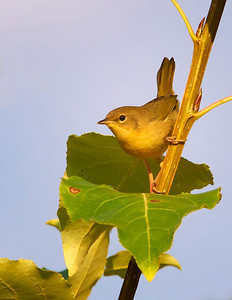 Common Yellowthroat, young bird (female??)
