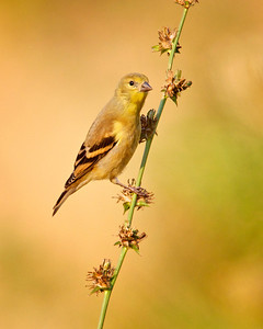 American Goldfinch, female, or young male transitioning to mature plumage