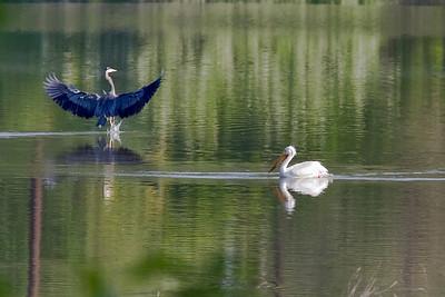 Rare White Pelican in the Portland, OR area!