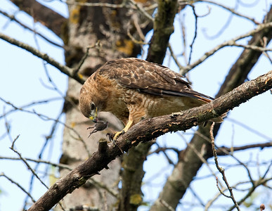 Redtail Hawk with mouse snack