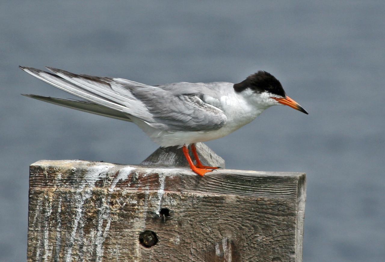 Common Tern, Bolsa Chica, July 15, 2007