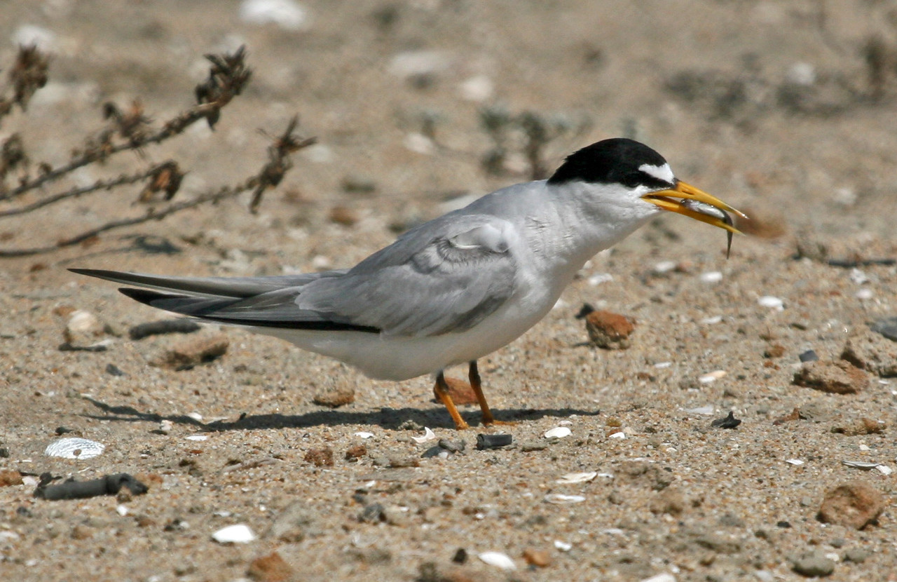 Least Tern at Bolsa Chica on July 15, 2007.