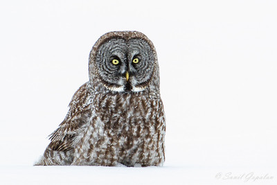 Great Gray Owl - In the snow